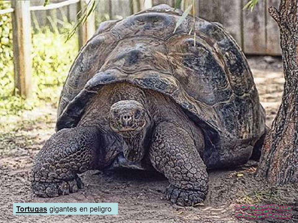 Tortugas gigantes en peligro