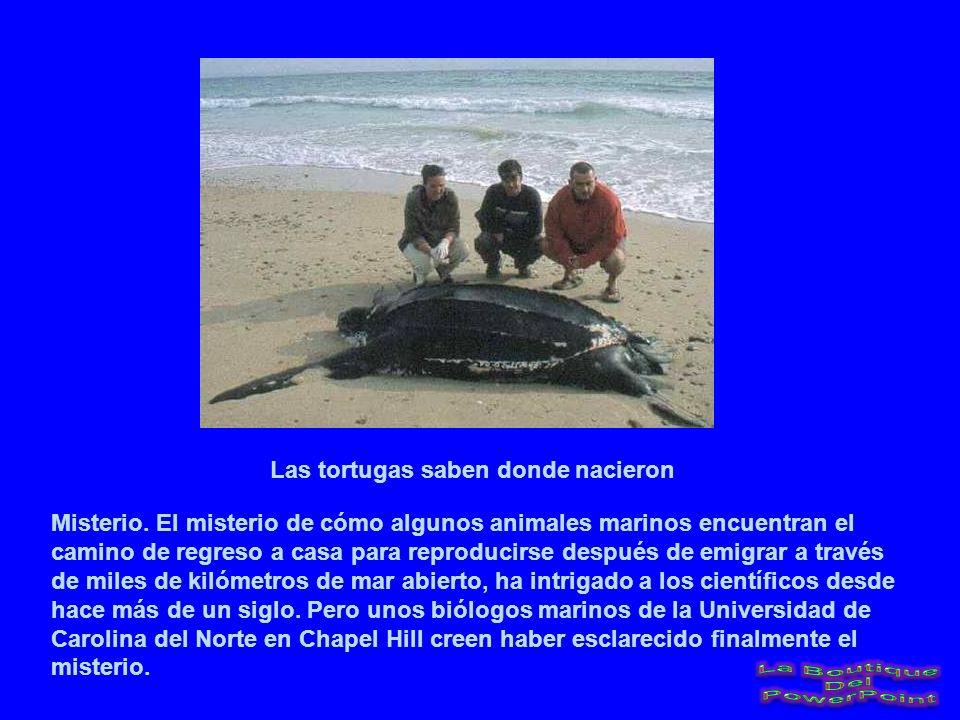 Las tortugas saben donde nacieron