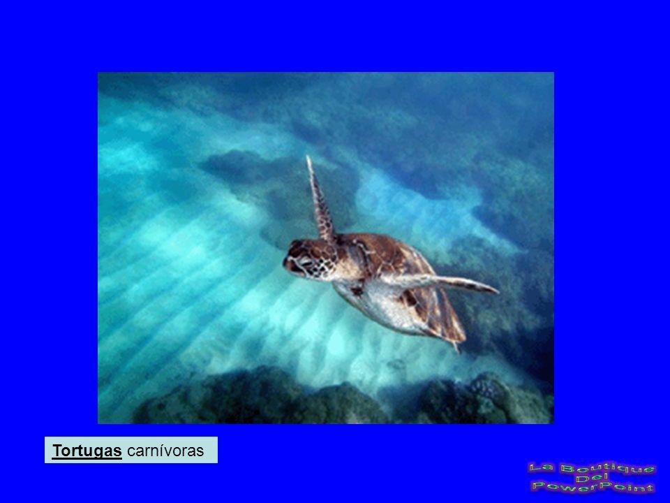 Tortugas carnívoras La Boutique Del PowerPoint