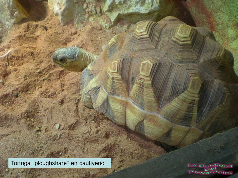Tortuga ploughshare en cautiverio.