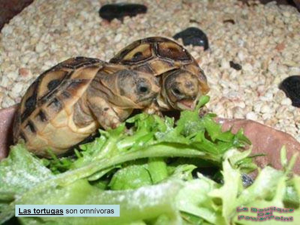 Las tortugas son omnívoras