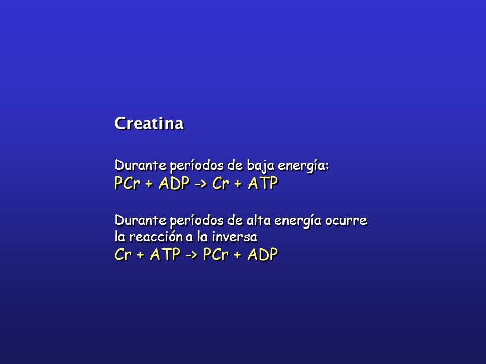 Creatina PCr + ADP -> Cr + ATP Cr + ATP -> PCr + ADP