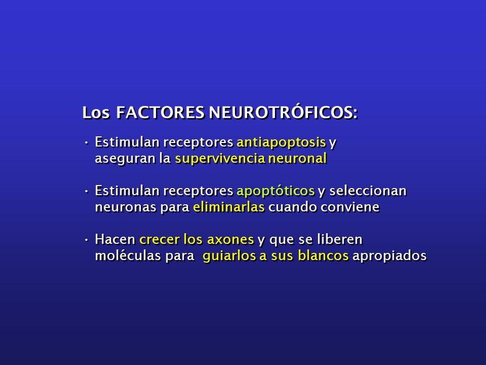Los FACTORES NEUROTRÓFICOS: