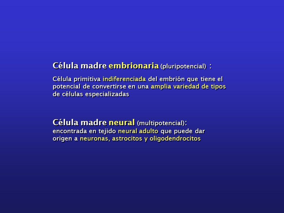 Célula madre embrionaria (pluripotencial) :