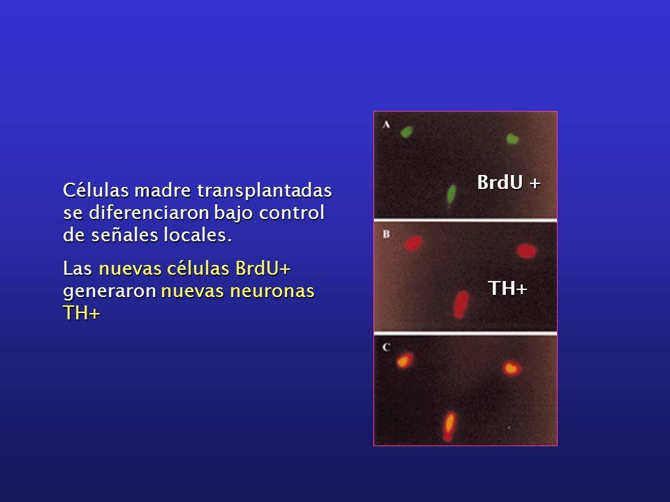 BrdU + Células madre transplantadas se diferenciaron bajo control de señales locales. Las nuevas células BrdU+ generaron nuevas neuronas TH+