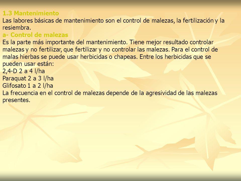 1.3 Mantenimiento Las labores básicas de mantenimiento son el control de malezas, la fertilización y la.