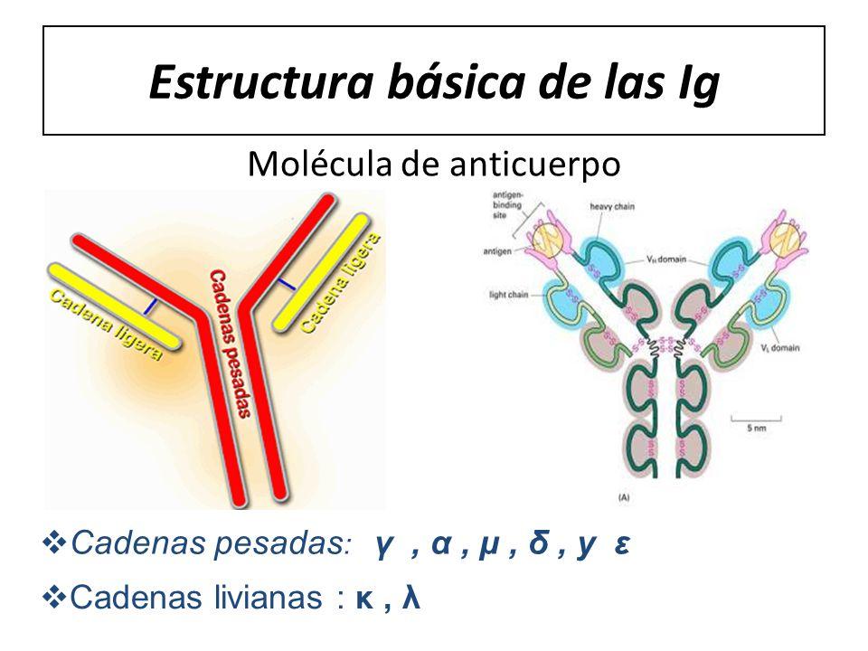 Estructura básica de las Ig