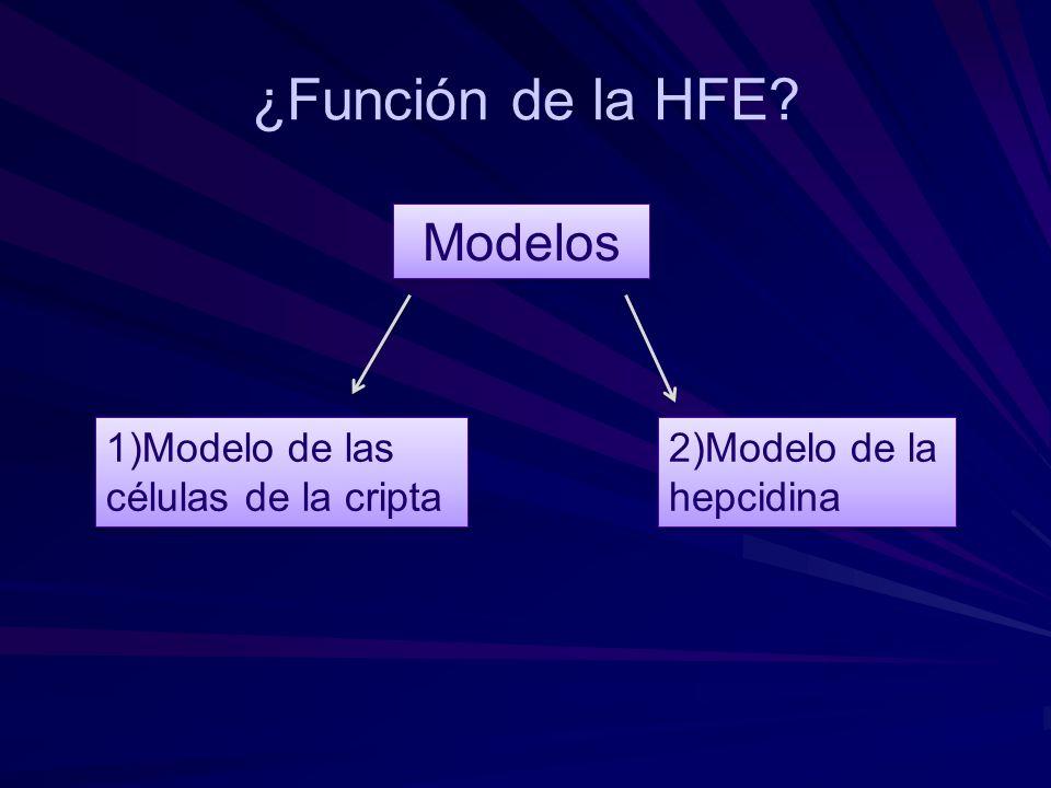 ¿Función de la HFE Modelos 1)Modelo de las células de la cripta