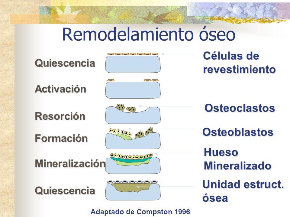 Remodelamiento óseo Células de revestimiento Osteoclastos Osteoblastos