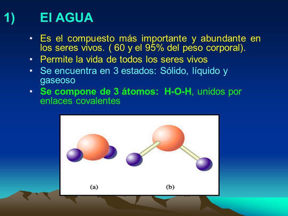 1) El AGUA Es el compuesto más importante y abundante en los seres vivos. ( 60 y el 95% del peso corporal).