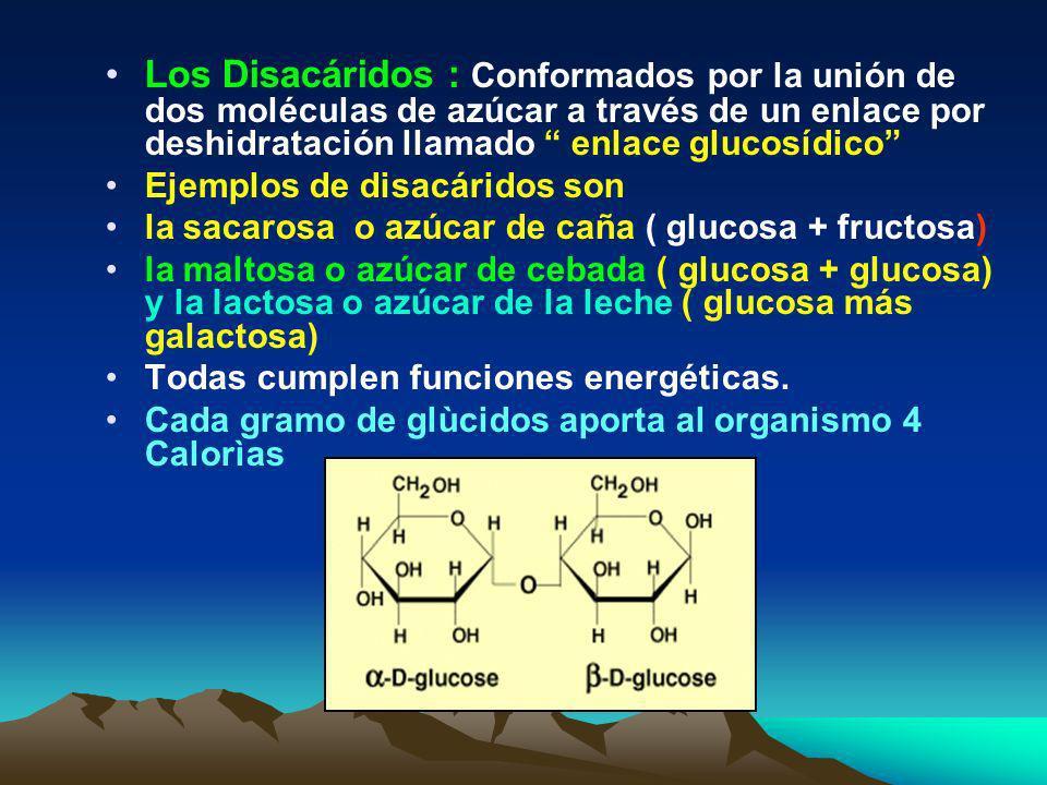 Los Disacáridos : Conformados por la unión de dos moléculas de azúcar a través de un enlace por deshidratación llamado enlace glucosídico