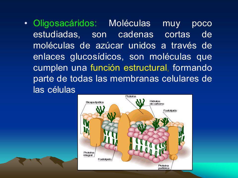 Oligosacáridos: Moléculas muy poco estudiadas, son cadenas cortas de moléculas de azúcar unidos a través de enlaces glucosídicos, son moléculas que cumplen una función estructural, formando parte de todas las membranas celulares de las células