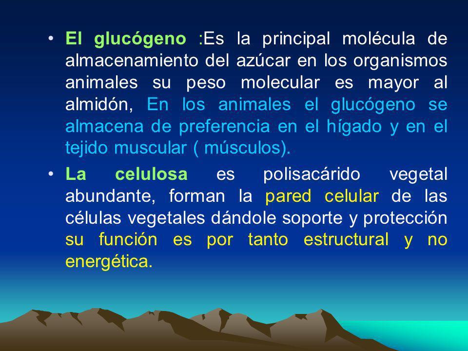 El glucógeno :Es la principal molécula de almacenamiento del azúcar en los organismos animales su peso molecular es mayor al almidón, En los animales el glucógeno se almacena de preferencia en el hígado y en el tejido muscular ( músculos).