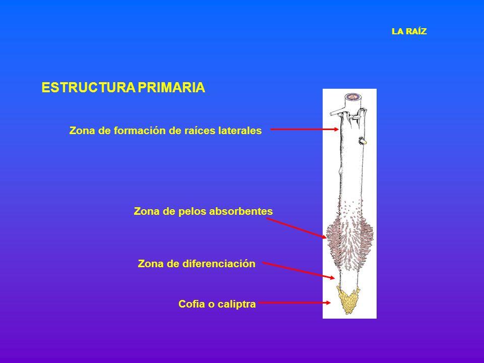 ESTRUCTURA PRIMARIA Zona de formación de raíces laterales