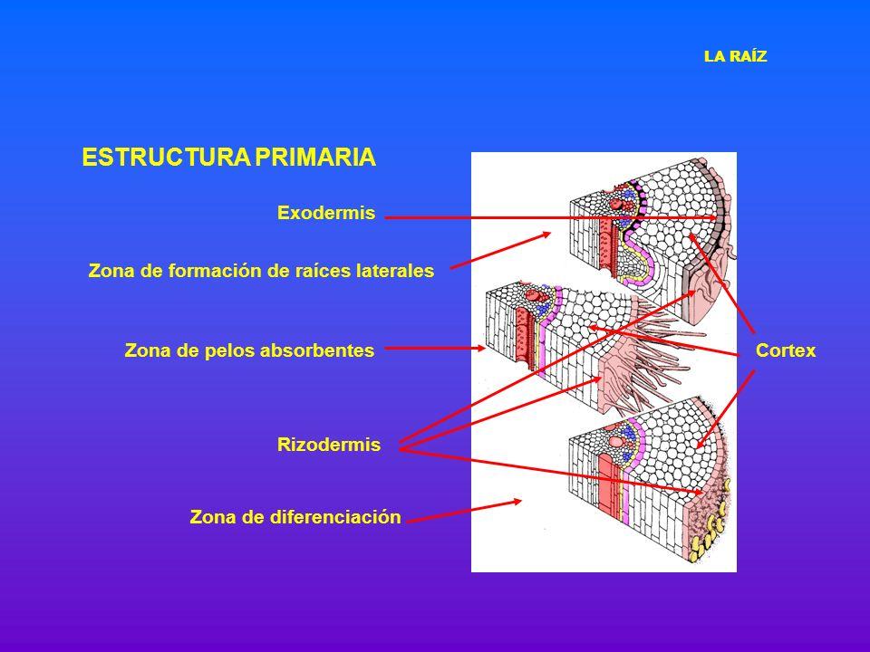 ESTRUCTURA PRIMARIA Exodermis Zona de formación de raíces laterales