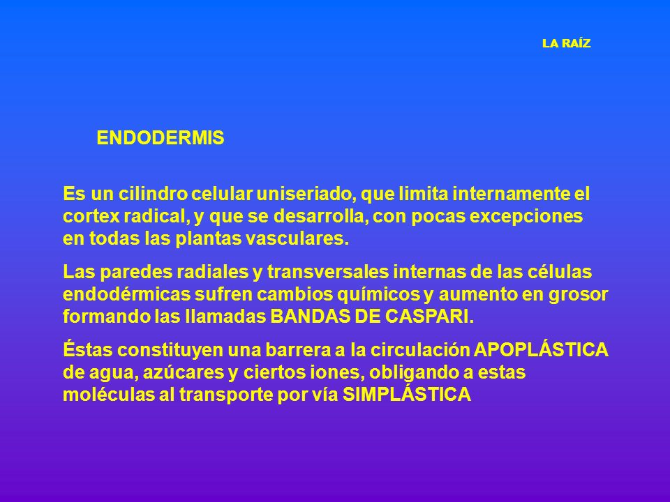 LA RAÍZ ENDODERMIS.