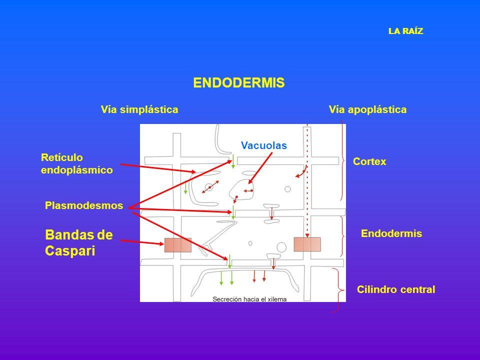 ENDODERMIS Bandas de Caspari Vía simplástica Vía apoplástica Vacuolas