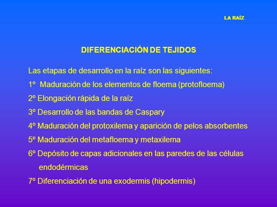 DIFERENCIACIÓN DE TEJIDOS