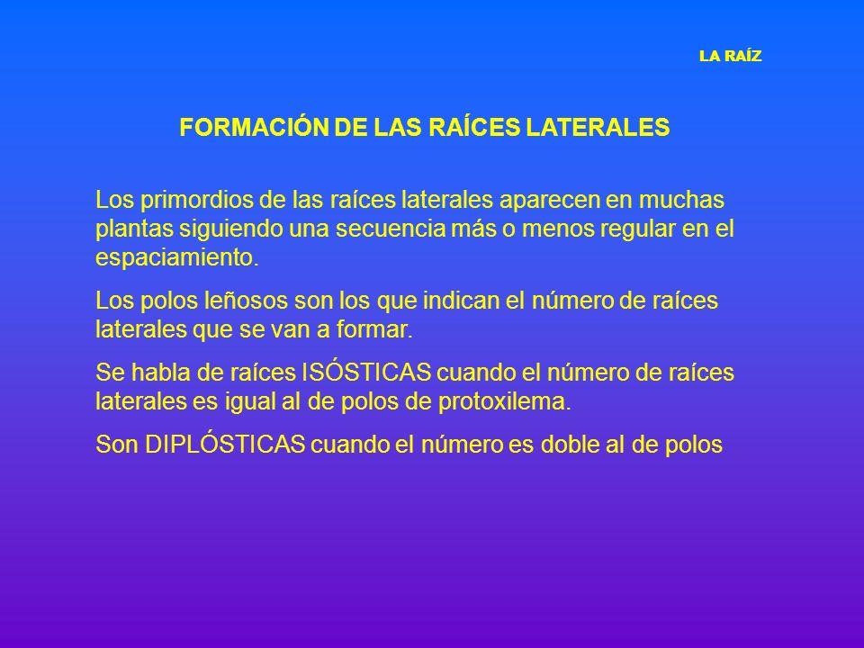 FORMACIÓN DE LAS RAÍCES LATERALES