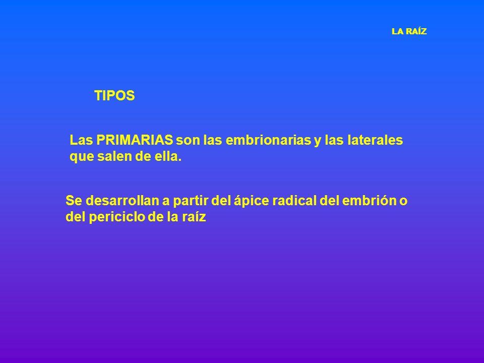 Las PRIMARIAS son las embrionarias y las laterales que salen de ella.