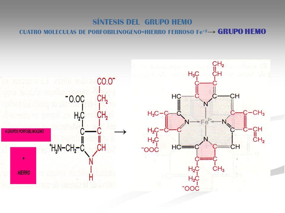 SÍNTESIS DEL GRUPO HEMO CUATRO MOLECULAS DE PORFOBILINOGENO+HIERRO FERROSO Fe+2→ GRUPO HEMO