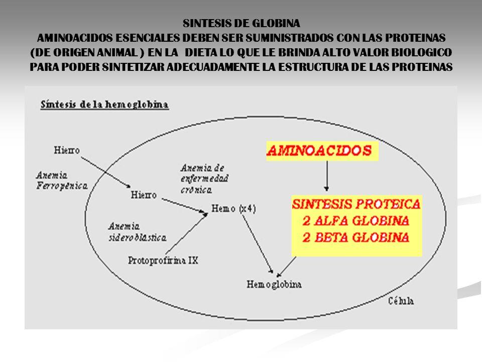 SINTESIS DE GLOBINA AMINOACIDOS ESENCIALES DEBEN SER SUMINISTRADOS CON LAS PROTEINAS (DE ORIGEN ANIMAL ) EN LA DIETA LO QUE LE BRINDA ALTO VALOR BIOLOGICO PARA PODER SINTETIZAR ADECUADAMENTE LA ESTRUCTURA DE LAS PROTEINAS