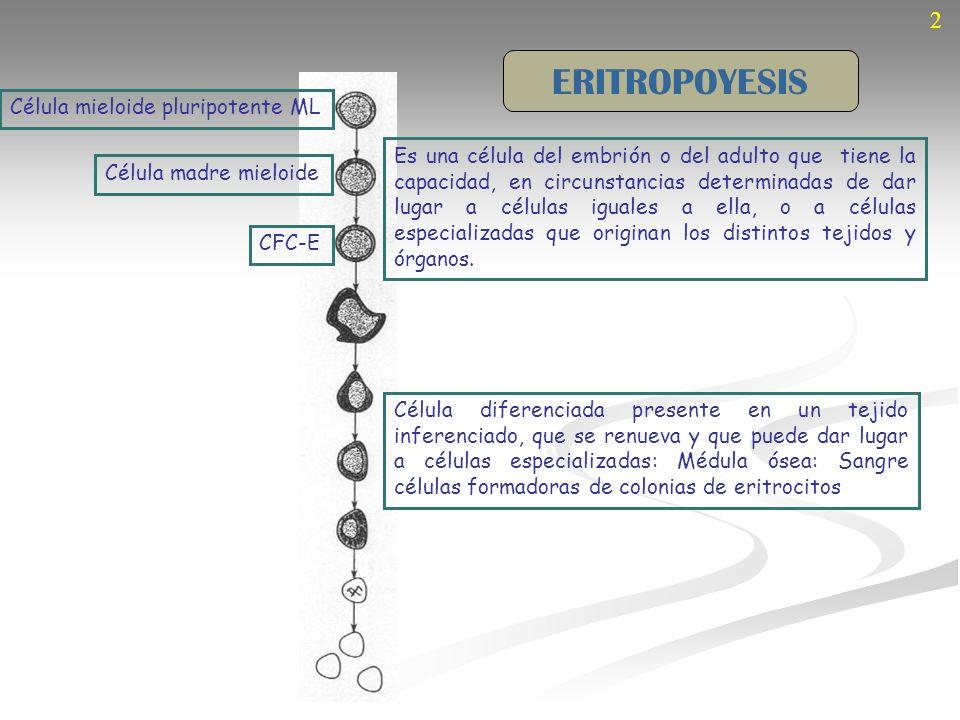ERITROPOYESIS 2 Célula mieloide pluripotente ML