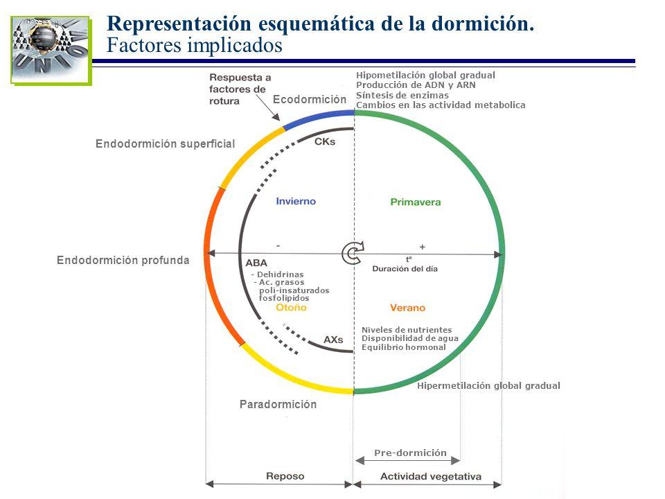 Representación esquemática de la dormición. Factores implicados
