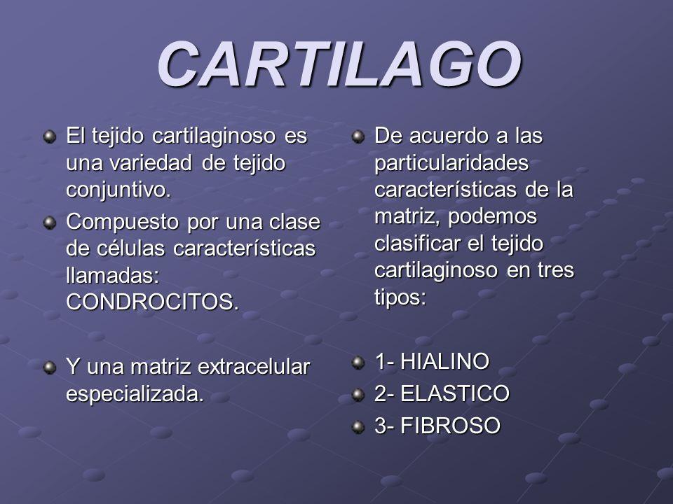 CARTILAGO El tejido cartilaginoso es una variedad de tejido conjuntivo. Compuesto por una clase de células características llamadas: CONDROCITOS.