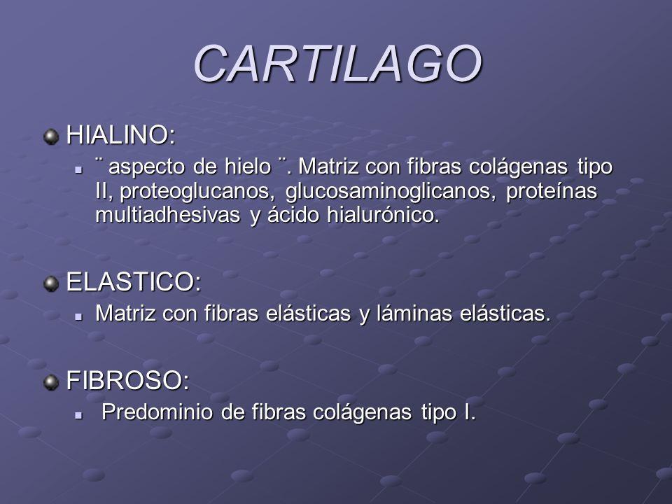 CARTILAGO HIALINO: ELASTICO: FIBROSO: