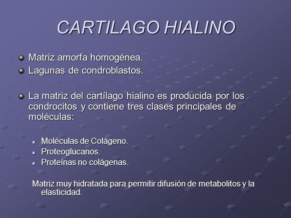 CARTILAGO HIALINO Matriz amorfa homogénea. Lagunas de condroblastos.