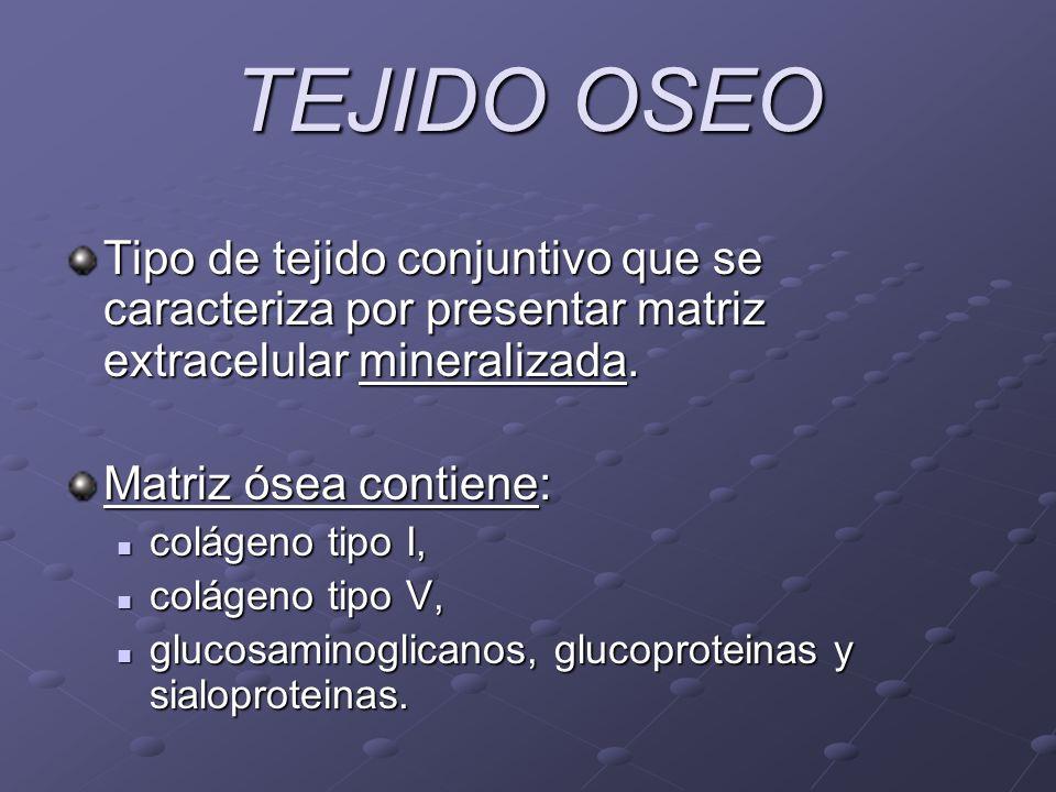 TEJIDO OSEO Tipo de tejido conjuntivo que se caracteriza por presentar matriz extracelular mineralizada.