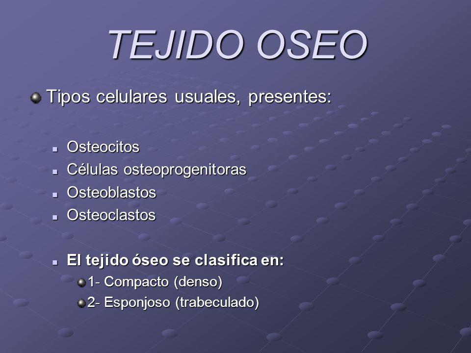 TEJIDO OSEO Tipos celulares usuales, presentes: Osteocitos