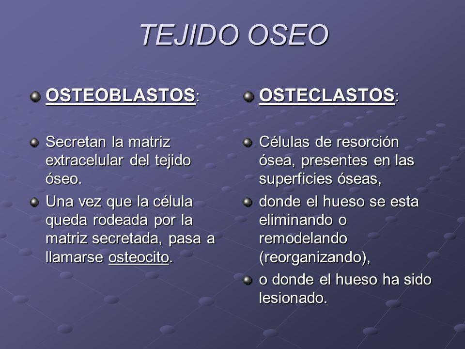 TEJIDO OSEO OSTEOBLASTOS: OSTECLASTOS: