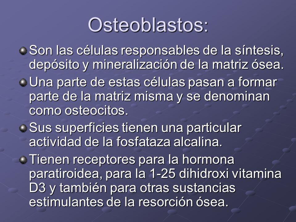 Osteoblastos: Son las células responsables de la síntesis, depósito y mineralización de la matriz ósea.