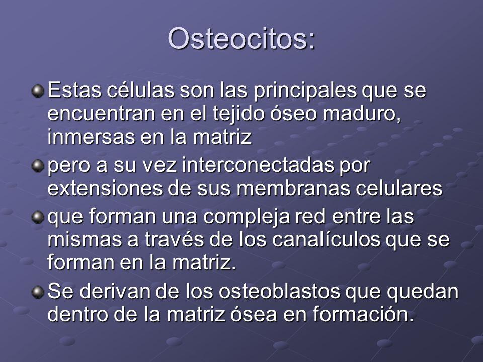 Osteocitos: Estas células son las principales que se encuentran en el tejido óseo maduro, inmersas en la matriz.