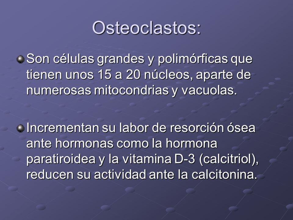 Osteoclastos: Son células grandes y polimórficas que tienen unos 15 a 20 núcleos, aparte de numerosas mitocondrias y vacuolas.