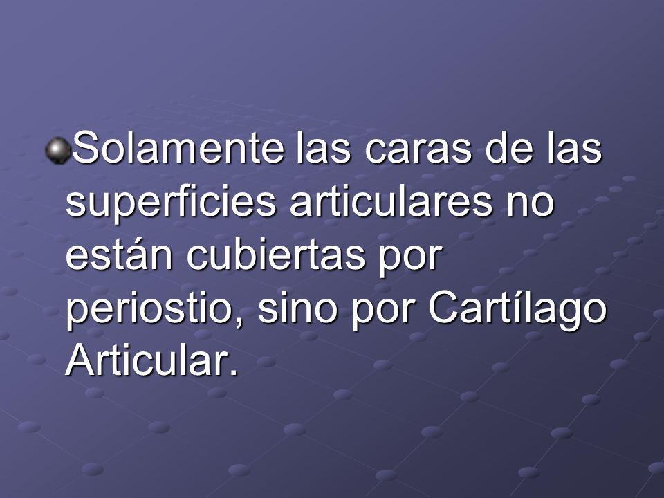 Solamente las caras de las superficies articulares no están cubiertas por periostio, sino por Cartílago Articular.