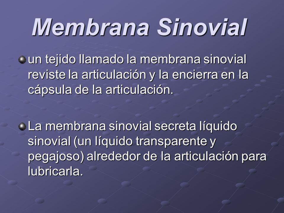 Membrana Sinovial un tejido llamado la membrana sinovial reviste la articulación y la encierra en la cápsula de la articulación.