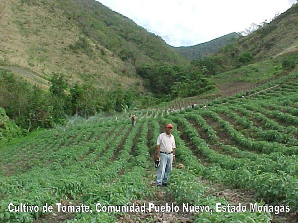 Cultivo de Tomate, Comunidad Pueblo Nuevo, Estado Monagas
