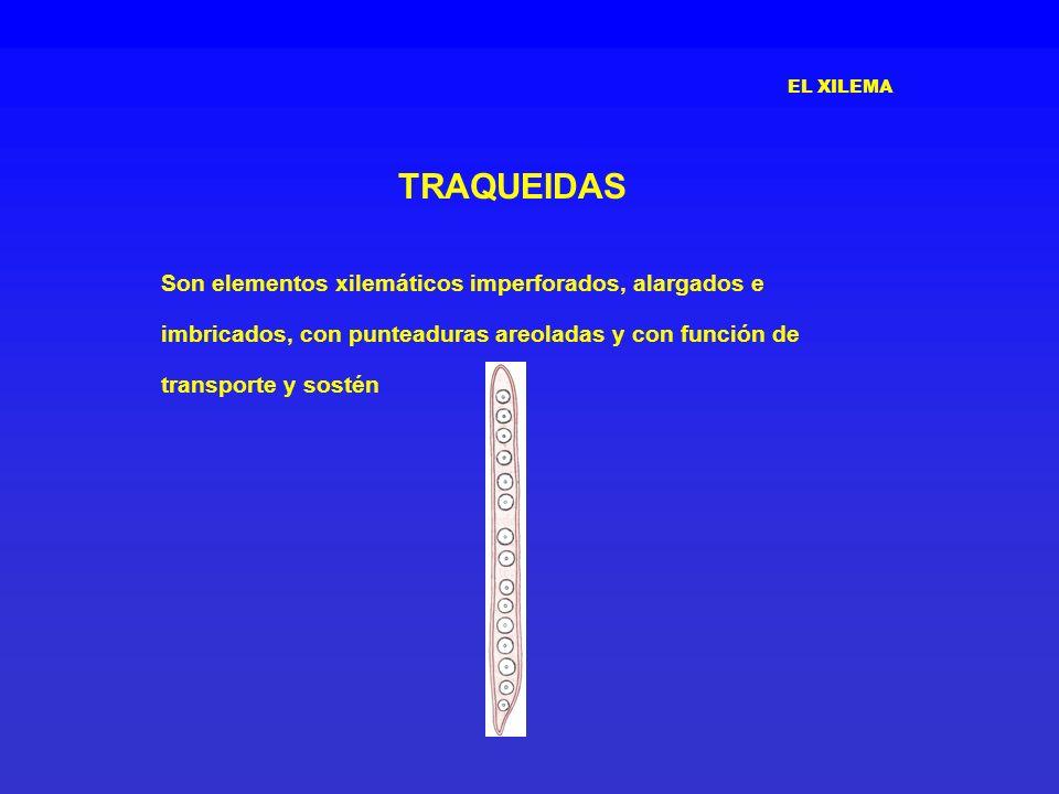 EL XILEMA TRAQUEIDAS.