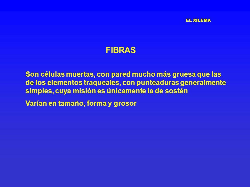 EL XILEMA FIBRAS.