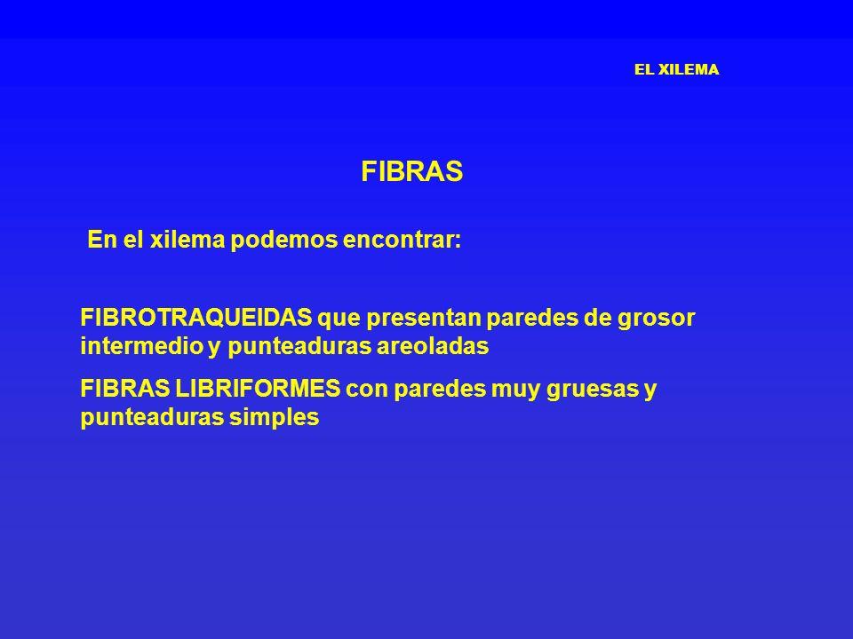 FIBRAS En el xilema podemos encontrar: