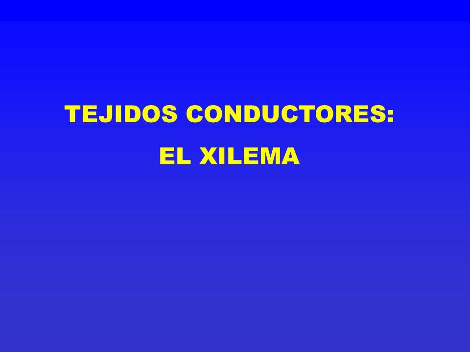 TEJIDOS CONDUCTORES: EL XILEMA