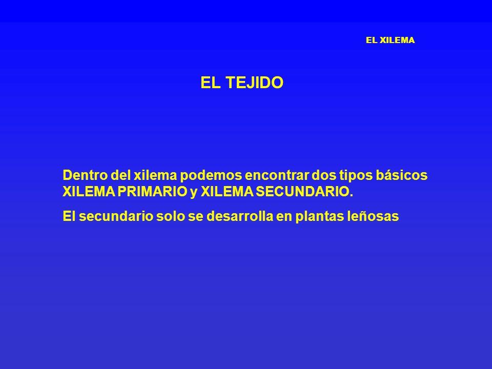EL XILEMA EL TEJIDO. Dentro del xilema podemos encontrar dos tipos básicos XILEMA PRIMARIO y XILEMA SECUNDARIO.