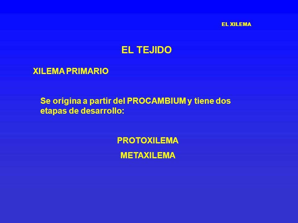 EL TEJIDO XILEMA PRIMARIO