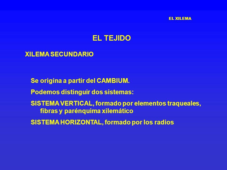 EL TEJIDO XILEMA SECUNDARIO Se origina a partir del CAMBIUM.