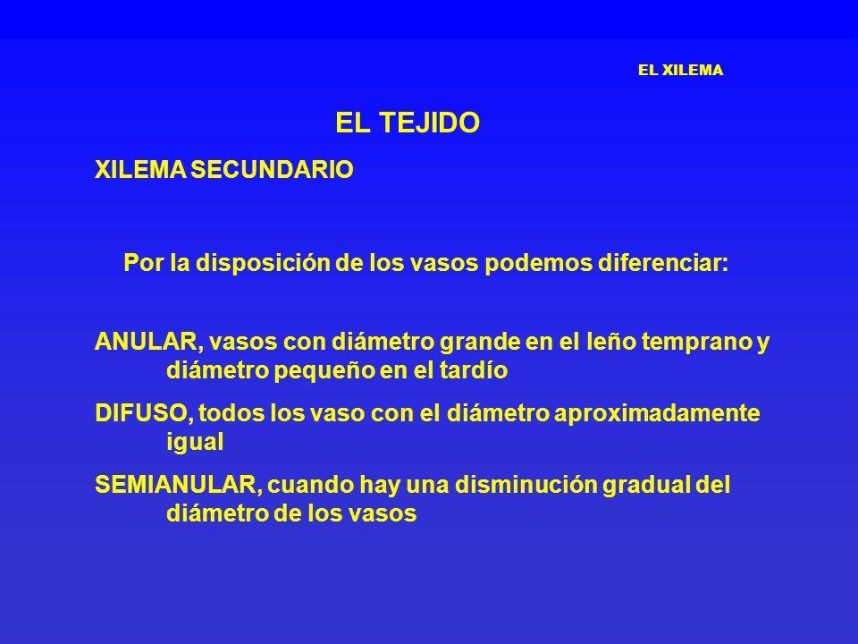 EL TEJIDO XILEMA SECUNDARIO