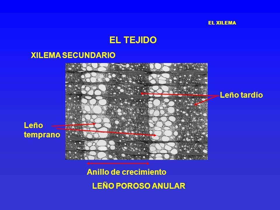 EL TEJIDO XILEMA SECUNDARIO Leño tardío Leño temprano