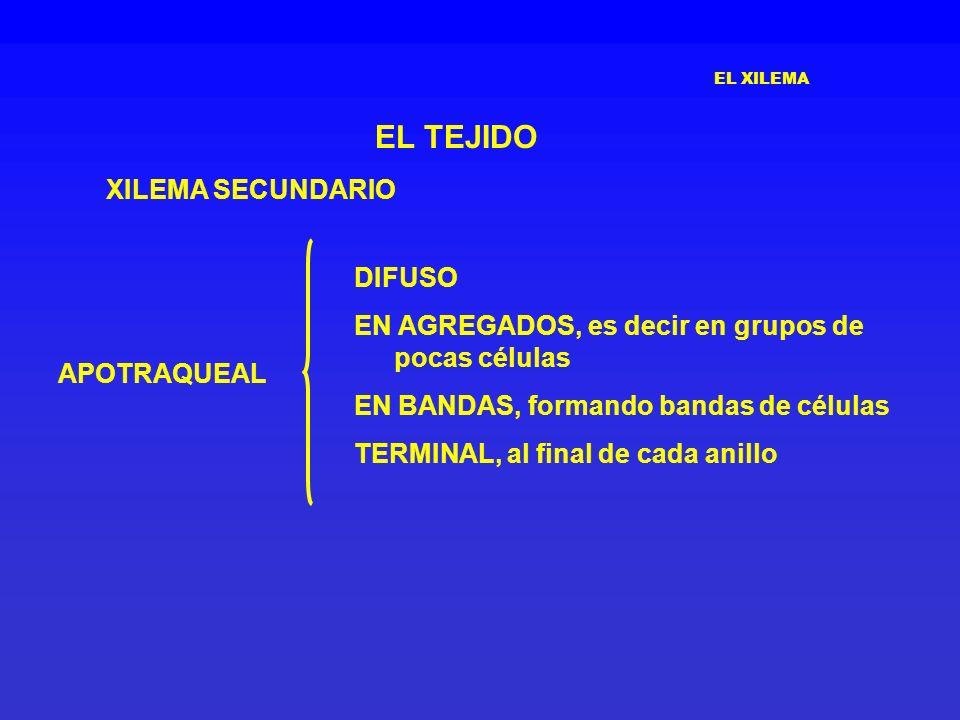 EL TEJIDO XILEMA SECUNDARIO DIFUSO